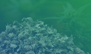 Home, Cannabis & Marijuana for Sale